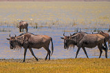 Wildebeest in the Marshes