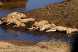 Female Lions Napping