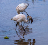 White Flamingos