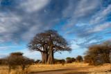 Tree of Life Baobab Tree