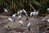 Egrets on Hippo Backs