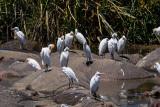 Egrets on Hippo Backs