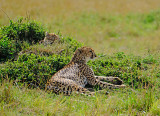 Cheetah with baby hidden on the grass mound behind her