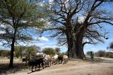 Massai Herdsman