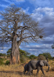 Elephants & Baobab Tree