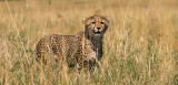 Young Cheetah Learning to Stalk Prey