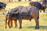 Shielding Her Calf