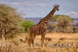 Giraffe: A Beautiful Big Guy
