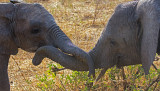Juvenile Elephants Play