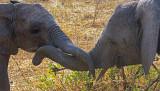 Juvenile Elephants Play