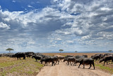 Cape Buffalo Cross the Road