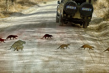 Mongoose Crossing