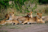 Females and Juvenile Cubs at Rest