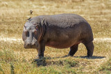 Hippo out for a Stroll