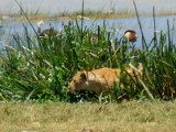 Lurking in the Marsh Grasses