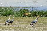 Crowned Cranes Keeping an Eye on a Lion in the Marsh Grasses