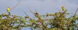Love Birds in Acacia Tree