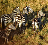 Zebras - Early Morning; Taken from Hot-Air Balloon
