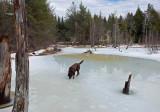 Kelley - Beaver Pond  Sunkhaze 3-2-17.jpg