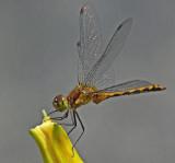 Dragon Fly - Garden  7-30-11-pf.jpg