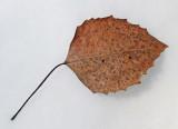Leaf  DeMeritt Forest  3-23-17.jpg