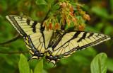 Butterfly- Tunk Mtn. Trail 6-16-12-ed-pf.jpg