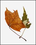 Leaves Bangor 11-27-11-ed-pf.jpg