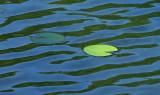 Lily Pads Tilden Pond 7-22-12-ed-pf.jpg