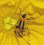 Cucumber Beetles - Garden 8-2-11-pf.jpg