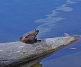 Frog - Lake Wood 6-11-10-pf.jpg