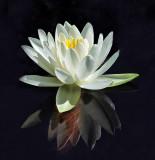Water Lily - Little Long Pond 7-30-12-ed-pf.jpg