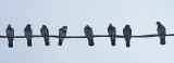 Pigeons - Neighborhood  12-11-12-pf.jpg