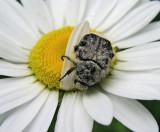 Fuzzy Bug - Veazie Rail Bed 6-24-11-pf.jpg