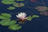 Water Lily  - Little Long Pond 8-26-12-pf.jpg