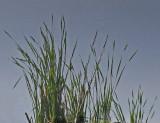 Reeds - Bangor Forest 6-22-11-pf.jpg