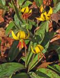 Trout Lilies Kenduskeag Trail  5-3-17.jpg