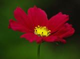 Cosmos - Garden 8-15-11=pf.jpg