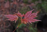 New Leaves  Perch Pond Trails  5-12-17.jpg