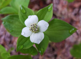 Bunchberry Perch Pond Trails 5-24-17.jpg