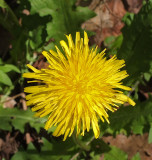 Dandelion  Little River Trail 5-28-17.jpg