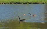 Geese Newman Hill - Hinds 5-30-17.jpg