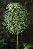 Plant Newman Hill - Hinds 5-30-17.jpg