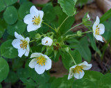 Wild Strawberries Newman Hill - Hinds 5-30-17.jpg