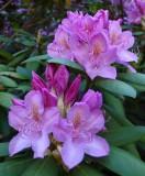 Rhododendron  Garden 6-7-17.jpg