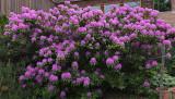 Rhododendron  Garden 6-8-17.jpg