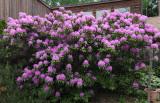 Rhododendron 6-9-17-pf .jpg