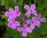 Wildflowers  Stillwater River Trail b 6-6-17-pf .jpg