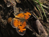 Butterfly - Trail Along Kenduskeg 6-12-17.jpg