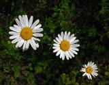 Daisies Trail Along Kenduskeg 6-12-17.jpg