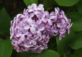 Lilacs Trail Along Kenduskeag 6-1-17-pf.jpg